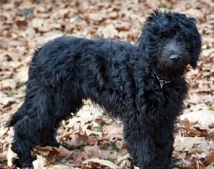 Black Goldendoodle(Cropped)